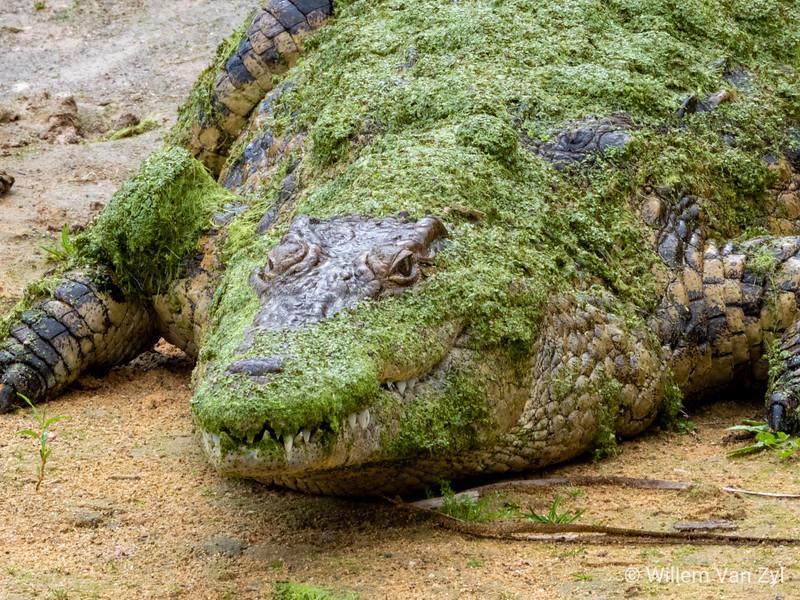 20190808 Nile Crocodiles (Crocodylus niloticus) at Le Bonheur, Western Cape
