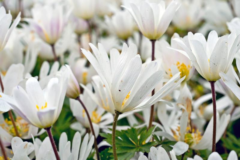 White Anemone Blanda