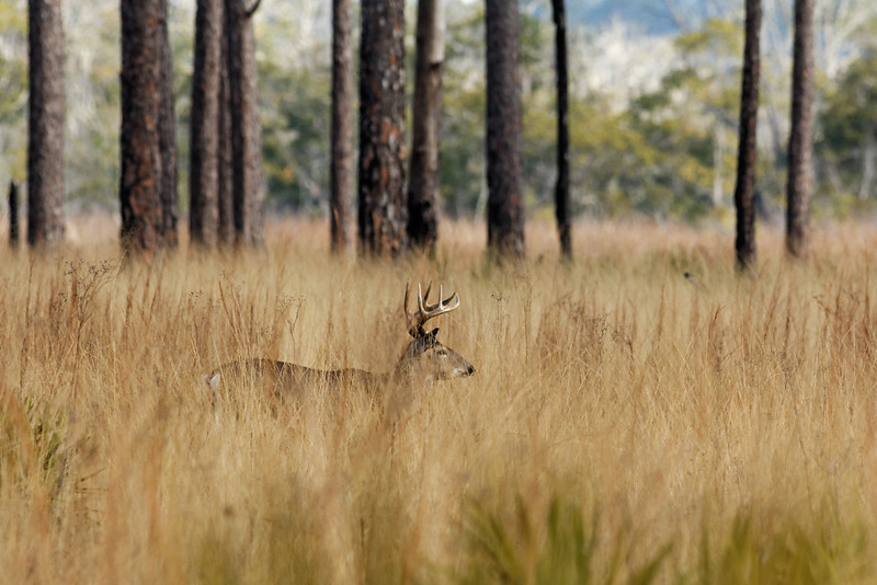 White-tailed Deer - Stealthily walks through tall grasses