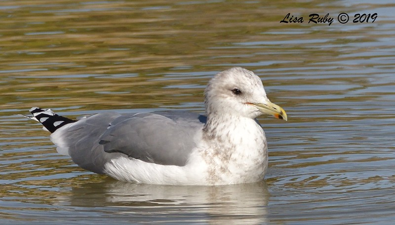 California Gull  - 12/01/2019 - Lindo Lake