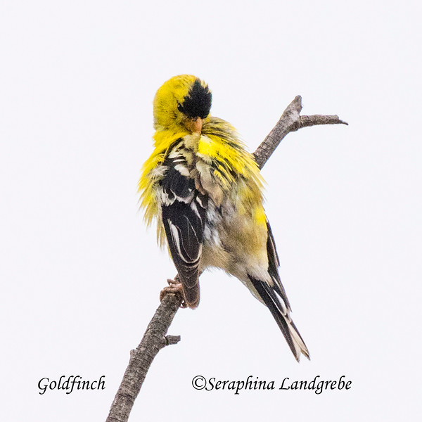 _DSC2417Best Goldfinch.jpg