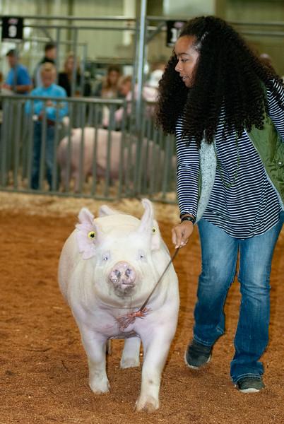 swine_gilts_20191018-20.jpg