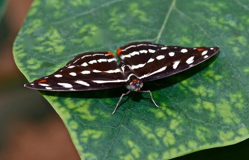 Passion Vine Butterfly (Argraulis vanillae)