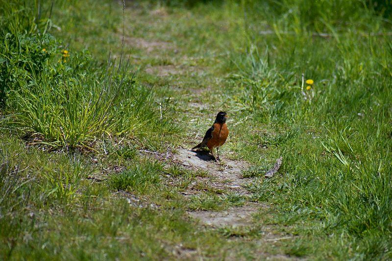 American Robin, Humber Bay Park