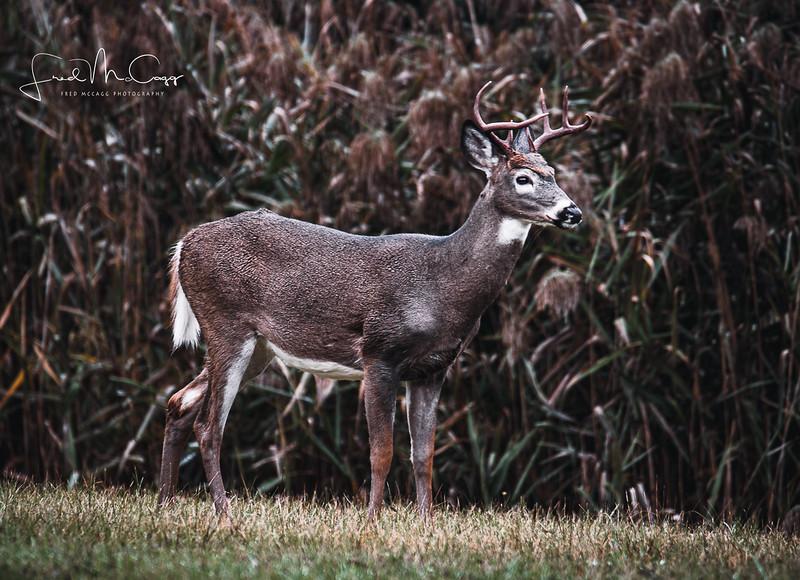 Lone Buck 2.jpg