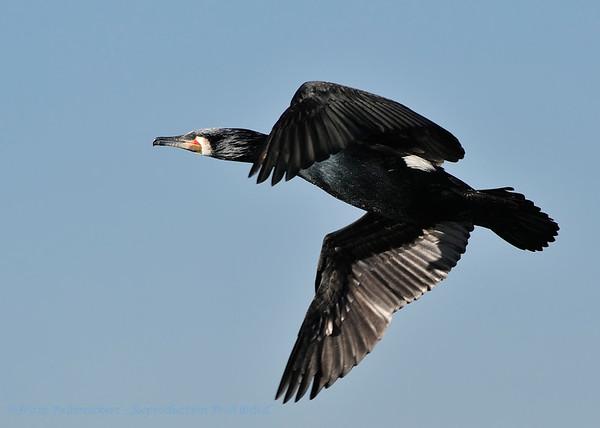 Aalscholver; Phalacrocorax carbo; Kormoran; Great Cormorant; Grand Cormoran
