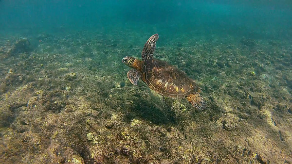 HawaiianSeaTurtleHD_T-103.6.mov