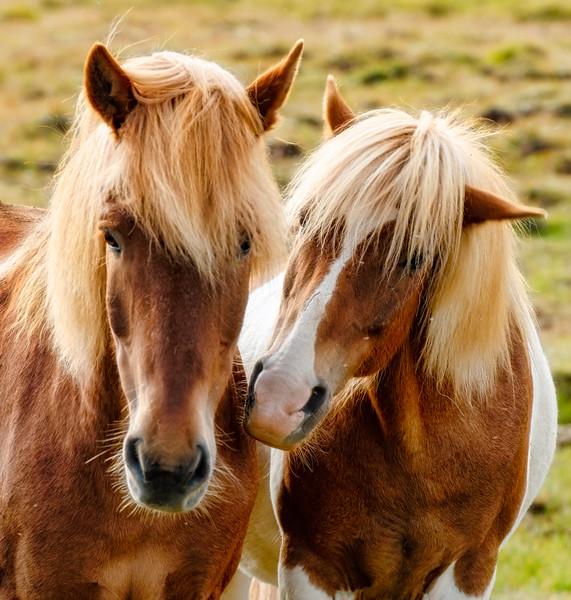 Icelandic horse 2 lg (1 of 1).JPG