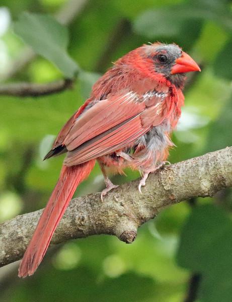 Cardinal 22