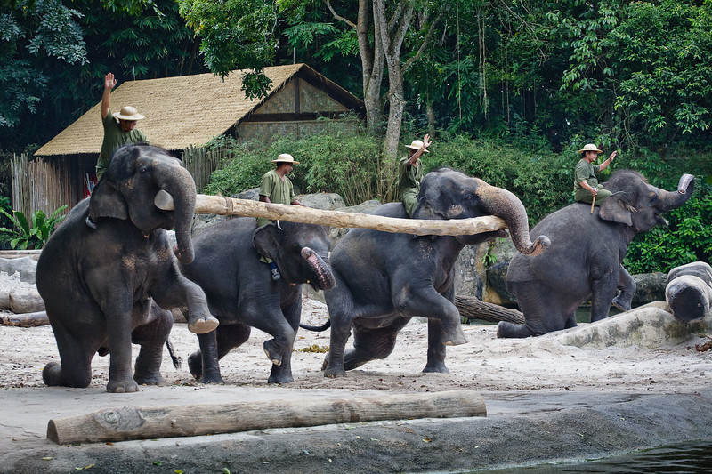 Elephants, Singapore Zoo