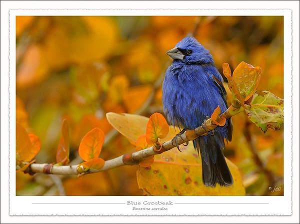 Sparrows, Grosbeaks and Buntings