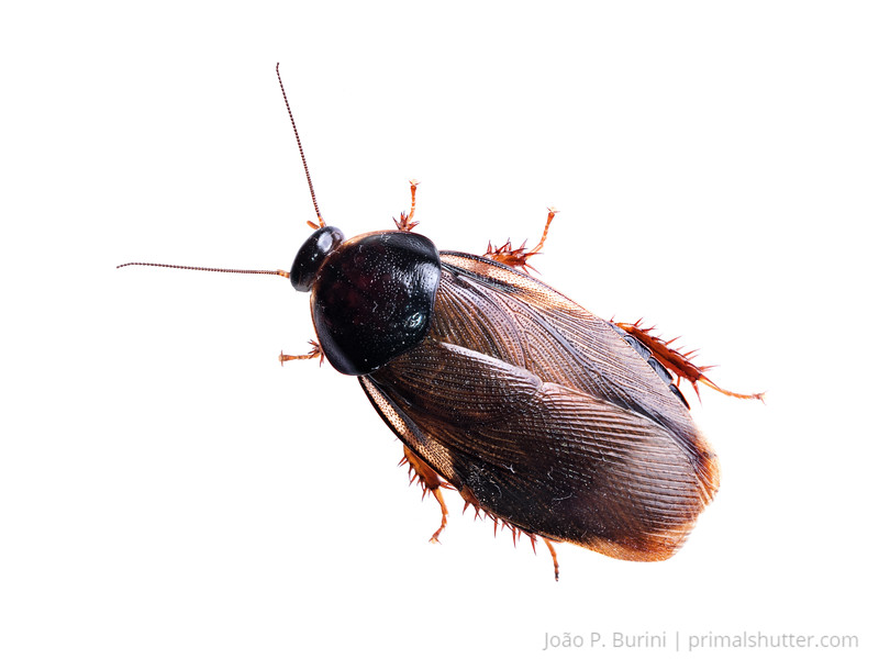 Surinam roach (Pycnoscelus surinamensis) Sorocaba, SP, Brazil Urban March 2014