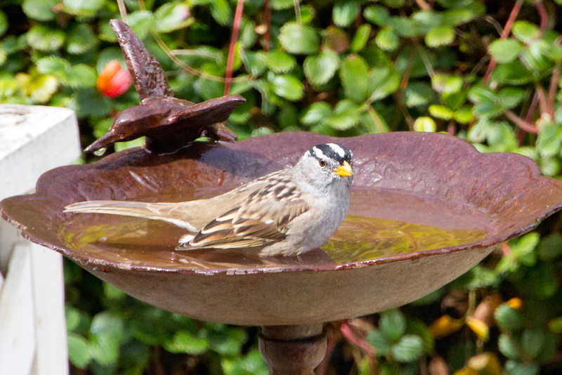 Backyard_Birds-Mar2012-20.jpg