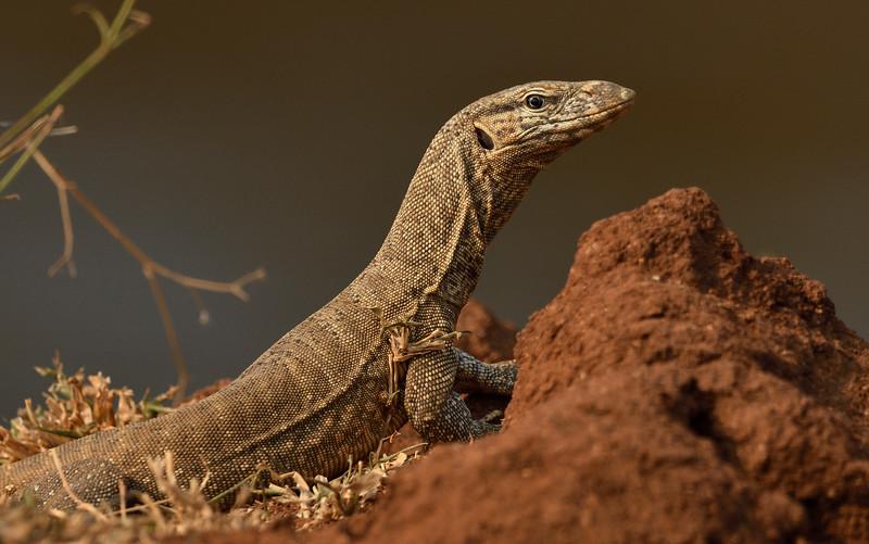 Monitor-lizard-hampi.jpg