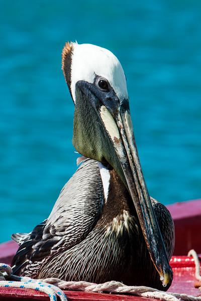Pelican fishing3-9583.jpg