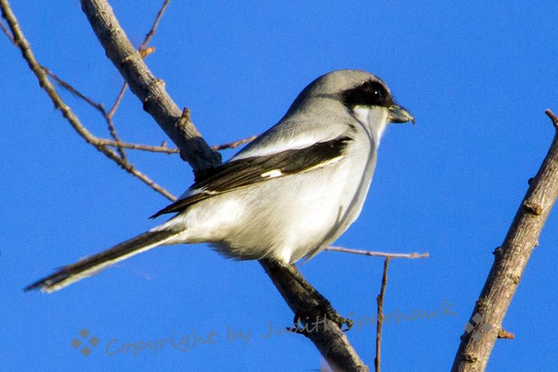 Loggerhead Shrike - Judith Sparhawk