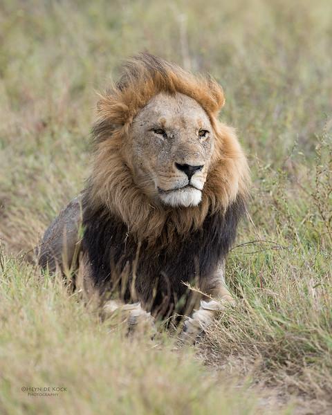 African Lion, Savuti, Chobe NP, Botswana, May 2017-19.jpg