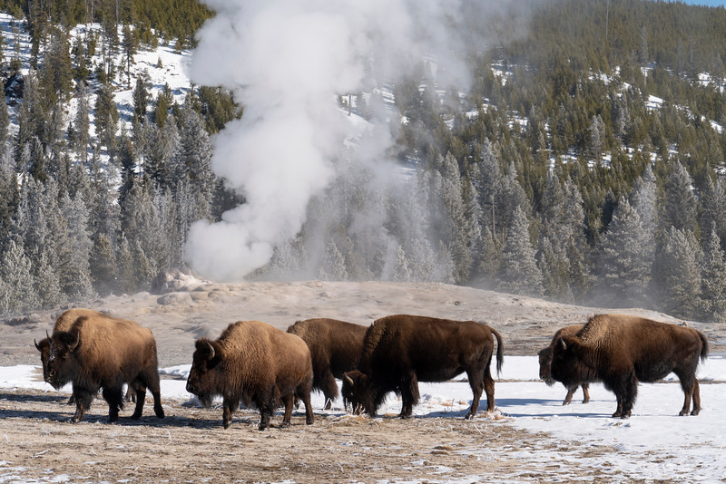 _AR71461 Bison walking by Old Faithful.jpg
