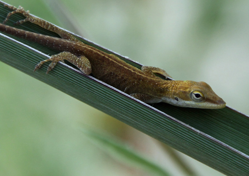 Green Anole 10