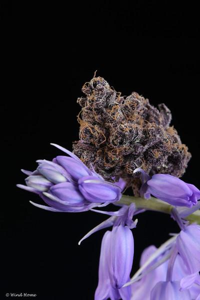 Flowersmithllc Pheno hunt dry