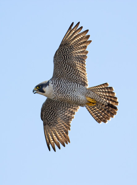 Peregrine Falcons on the North Shore