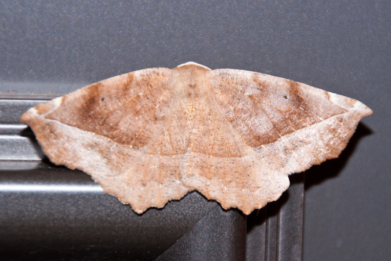 Geometer - Curve-toothed - (Eutrapela clemataria) - Dunning Lake - Itasca County, MN