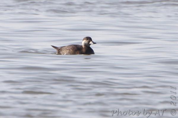 2011-11-04 Riverlands Migratory Bird Sanctuary