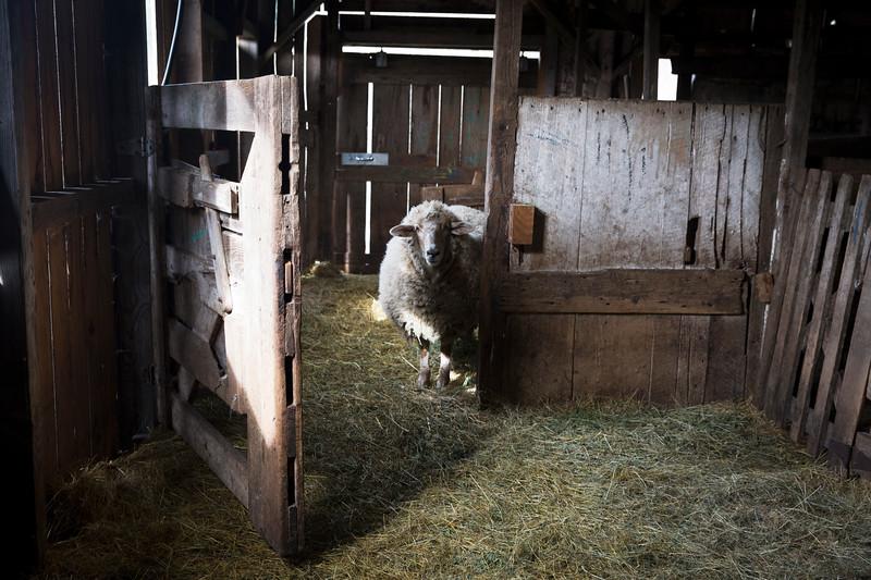 sheep_1956.jpg
