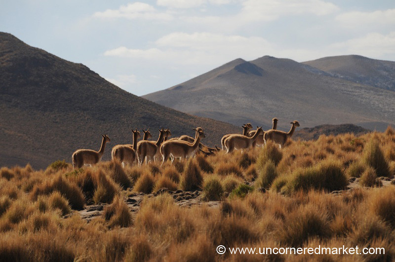 Vicuna Silhouette - Salar Tour, Bolivia