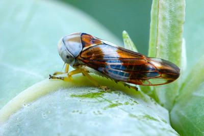 subfamily Idiocerinae