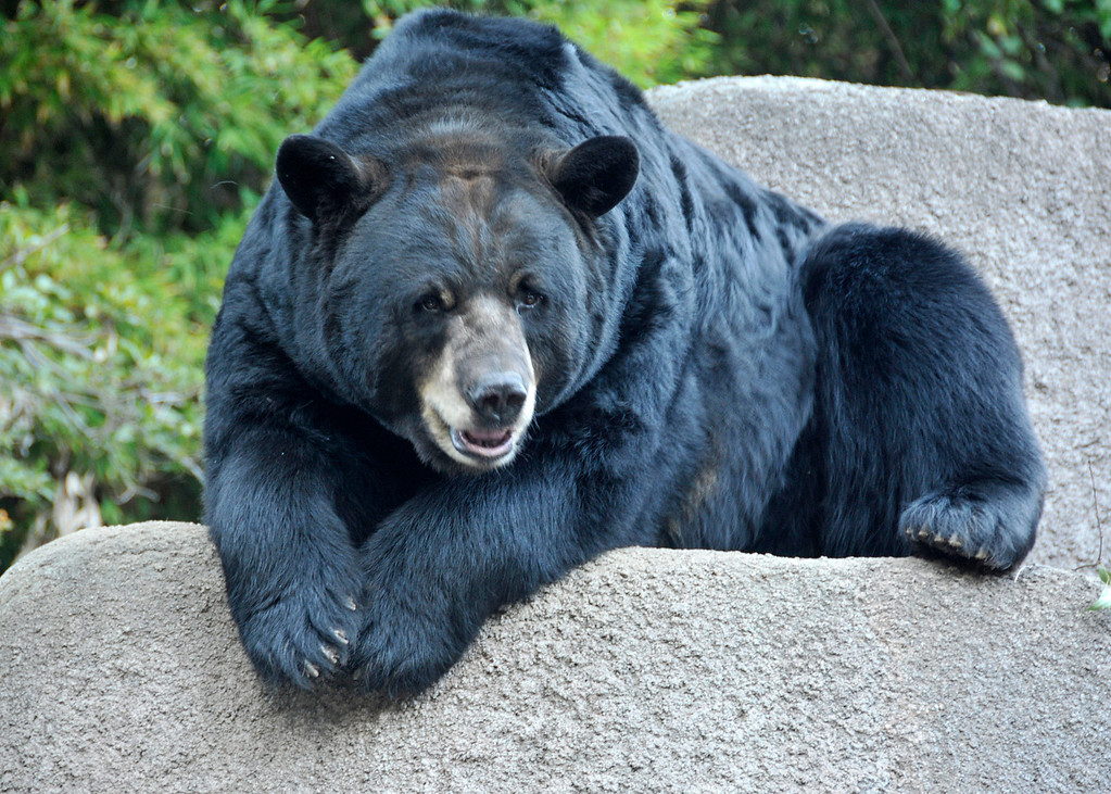 . The Los Angeles Zoo\'s black bear surveys guests at the Greater Los Angeles Zoo Association\'s Sunset Safari. (Photo by George Stoneman for the Daily News)