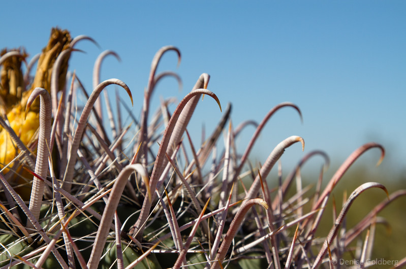 curved cactus spines