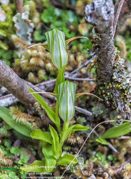 Pterostylis Wilmot Pass Fjordland National Park