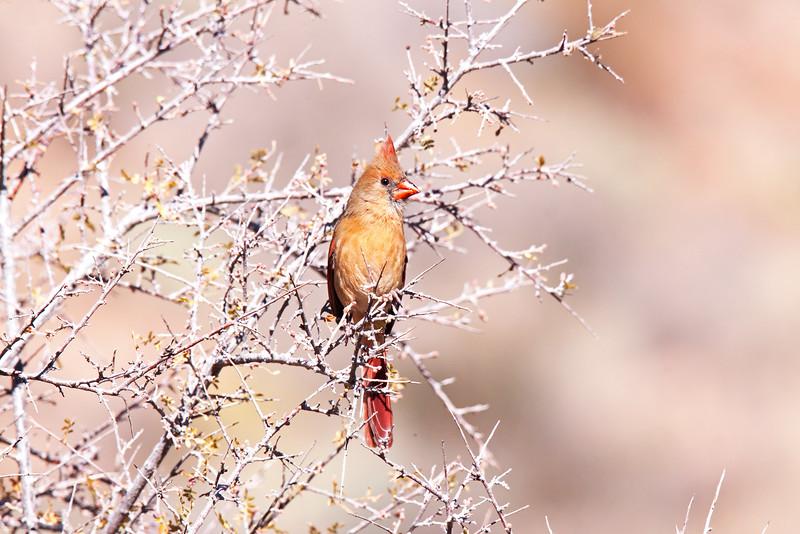 2f 20141124_0565 +sat fm N Cardinal.jpg