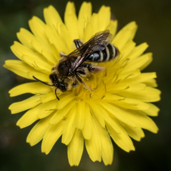 A native bee on a yellow composite