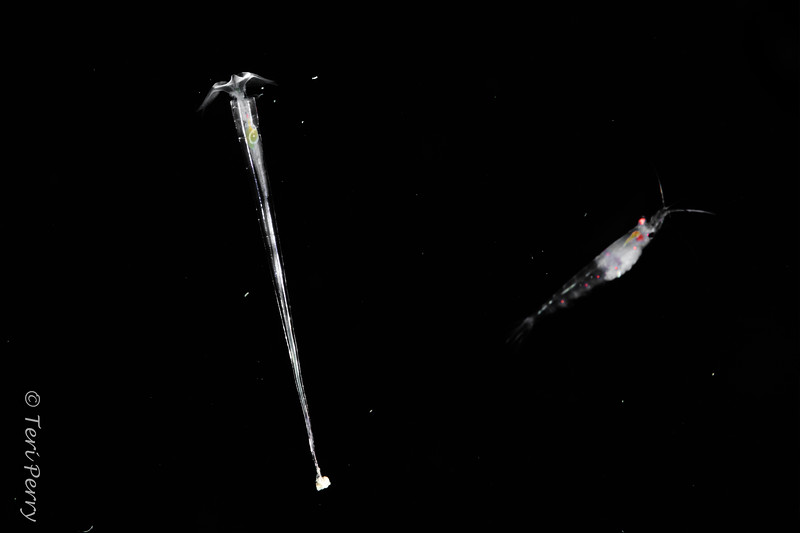 BLACKWATER - Pteropod - Creseis clava-0270-Edit.jpg