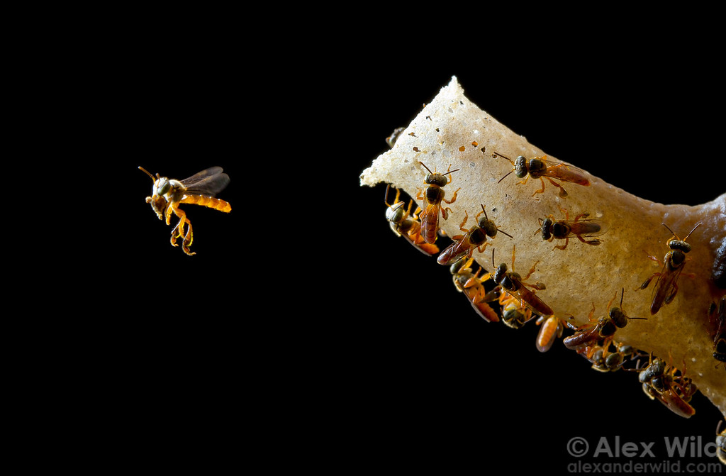 At the entrance of a small stingless bee nest (Tetragonisca angustula), workers remove bits of debris from the hive.