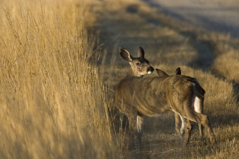 Blacktailed deer, Point Reyes, 08.19.07