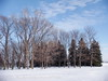 bare trees and pine trees in rows