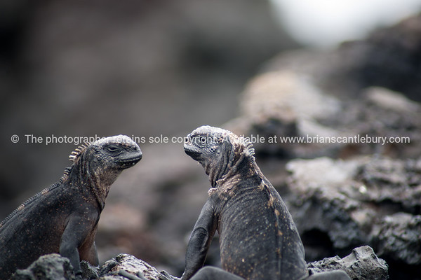 """Wildlife, landforms & landscapes of the Galapagos Islands.<br /> Marine iguanga, two face to face.<br /> <br /> Photos, prints & downloads SEE ALSO:  <a href=""""http://www.blurb.com/b/3551540-galapagos-islands"""">http://www.blurb.com/b/3551540-galapagos-islands</a>"""