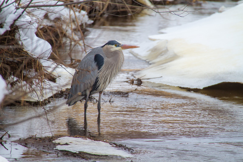 Great Blue Heron along Stone Lake Road Sax-Zim Bog MN-1770.jpg