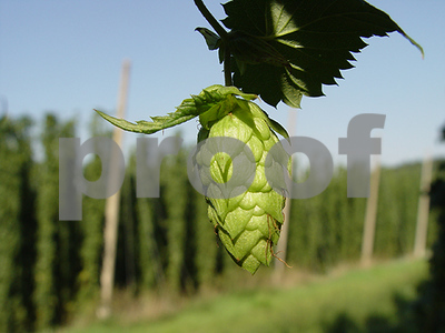 demand-for-craft-beers-sparks-surge-in-us-hop-production-mostly-washington-oregon-and-idaho
