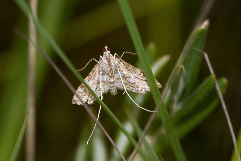 Nymphula ekthlipsis Nymphula Moth 4747 Family Crambidae Dragonfly Society of the Americas DSA field trip Toivola Swamp Sax-Zim Bog MN IMG_1806.jpg