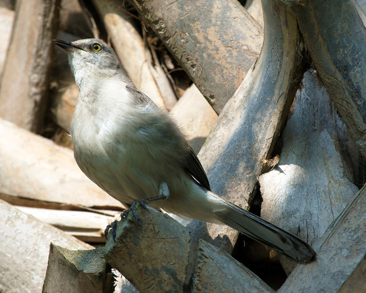 This mocking bird finds a roost in the palm tree, ...
