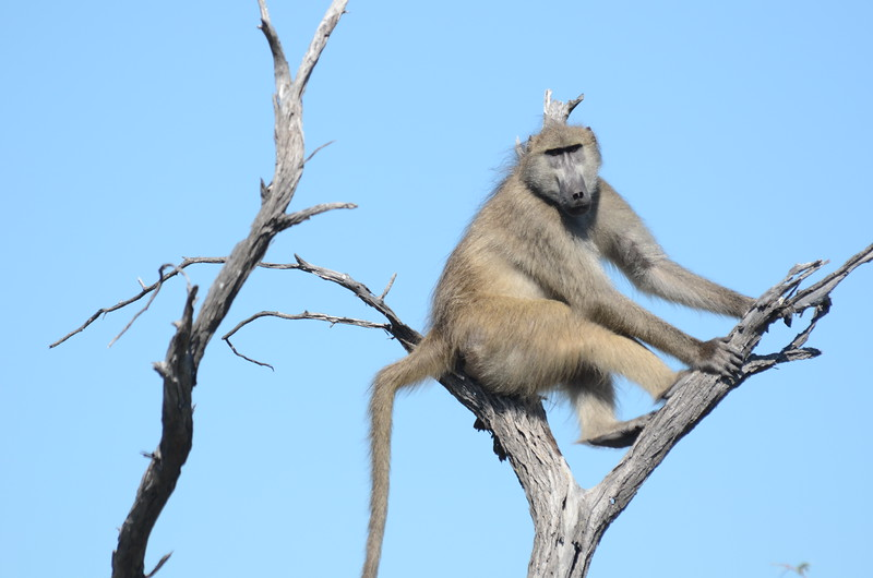 61 - Chacma Baboon - Chitabe - Anne Davis