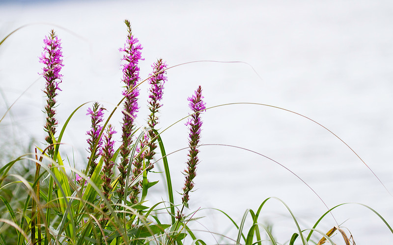 Kattehale / Purple Loosestrife Linnesstranda, Lier 2.9.2012 Canon EOS 7D + EF 100-400 mm 4,5-5,6 L