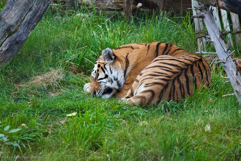 Siberian Tiger, Calgary Zoo, Sept. 30