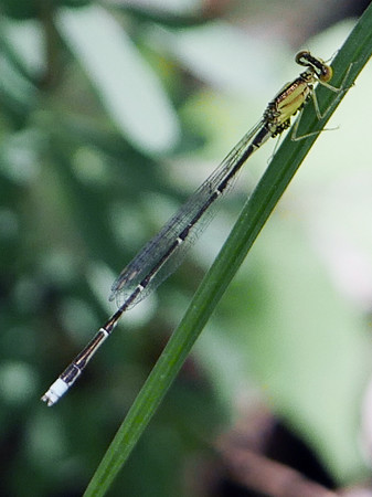 Vesper Bluet (Enallagma vesperum)
