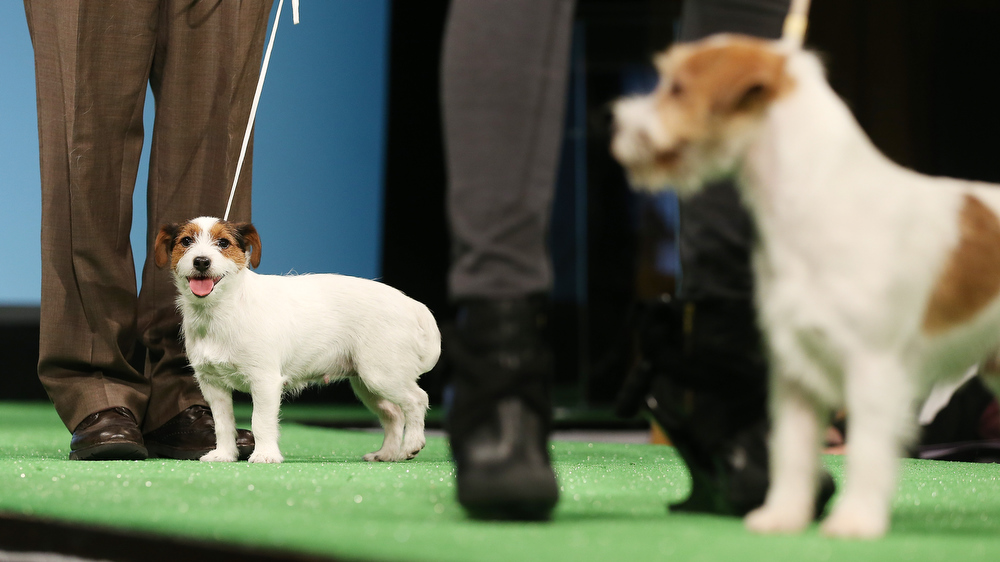 . Russell Terriers stand at a press conference kicking off the 137th Annual Westminster Kennel Club Dog Show on February 7, 2013 in New York City. This year\'s event will feature two new breeds, Treeing Walker Coonhounds and Russell Terriers and will take place February 11 and 12.  (Photo by Mario Tama/Getty Images)