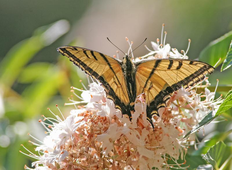 TwotailedSwallowtail0.jpg